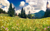Field of daisies blooming in the mountains — Stock Photo