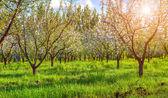 Blossom apples garden — Stock Photo