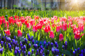 Marvellous red tulips in the Keukenhof park — Stock Photo