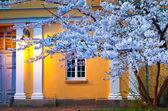 Blooming sakura illuminated by lamp — Stock Photo