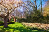 Blooming sakura in the spring Keukenhof park. — Stock Photo