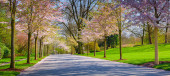 Alley of cherry blossoms — Stock Photo
