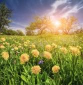 Fields of blossom dandelions in green garden — Stock Photo