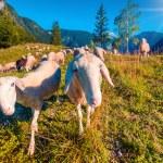Sheeps on alpine pasture — Stock Photo #74519561