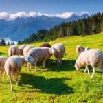 Sheeps on alpine pasture — Stock Photo #74519565