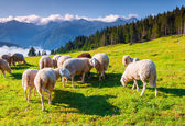 Sheeps on alpine pasture — Foto Stock