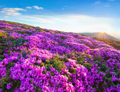 Blossom carpet of pink rhododendron flowers — Foto de Stock