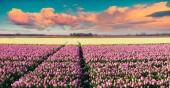 Colorful spring sunrise on the tulip farm — Stock Photo