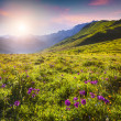 Flowers in the Caucasian mountains — Stock Photo #74998115