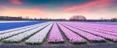 Fields of blooming hyacinth flowers at sunrise — Stock Photo