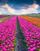 Tulip flowers on the farm near the Rutte — Stock Photo