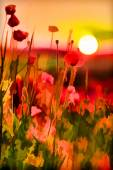 Summer sunset with red poppies. — Stock Photo