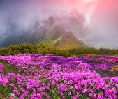 Rhododendron flowers in the foggy mountains — Stock Photo