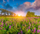Lupine on the summer sunny day. — Stock Photo