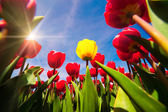 Springtime red and yellow tulips blossom — Stock Photo