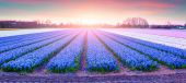 Fields of blooming hyacinth flowers — Stock Photo