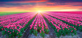 Fields of blooming white tulips at sunrise. — Stock Photo