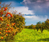 Orange garden in Sicily — Stock Photo