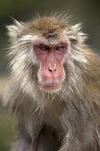 Snow monkey at Jigokudani Monkey Park — Stock Photo