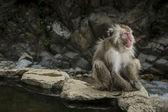 Schnee-Affe Jigokudani Monkey Park — Stockfoto