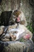 Snow monkey family — Foto de Stock