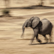 Young African elephant running — Stock Photo #56325345