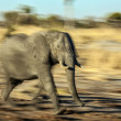 Young African elephant running — Stock Photo #56325553