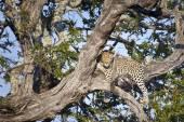 Leopard lying in branch of tree — Stock Photo