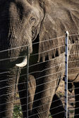 African elephant behind fence — Stock Photo