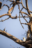 Eagle perched near nest — Stock Photo