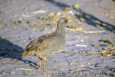 Red-billed Spurfowl — Stock Photo