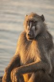 Relaxing baboon near water — Stock Photo