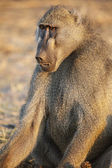 Baboon, close-up — Stock Photo
