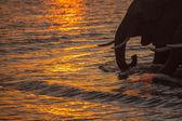 Elephants in water — Stock Photo