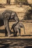 Elephant mother pushing her child — Stock Photo