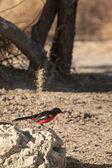 Crimson-Breasted Shrike — Stock Photo