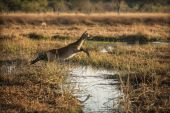 Antelope jumping over puddle — Stock fotografie
