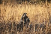Hyena in african savannah — Stock Photo
