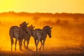 Three wild zebras — Stock Photo