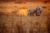 Rhinoceros in the african savannah — Stock Photo
