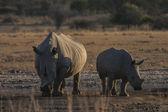 Rhinoceros in the african savannah — Stock Photo