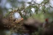 Weaver Bird working on nest — Zdjęcie stockowe