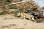 Lioness in blurred motion — Stock Photo