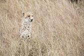 Cheetah hunting, Africa — 图库照片