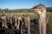 Mirada de avestruz — Foto de Stock