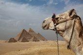 Camel Head — Stock Photo