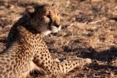 Cheetah in wild — Stock Photo
