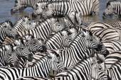 Zebras on watering hole — 图库照片