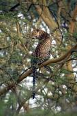 Leopard on tree — Stock Photo