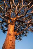 Tree in savanna — Stock Photo